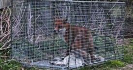 Fox Trapping North Yorkshire, Durham and Cleveland