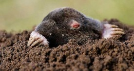 Mole Problem North Yorkshire and Durham